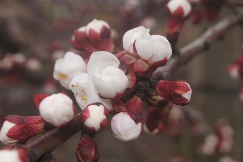 Abricotier fleur