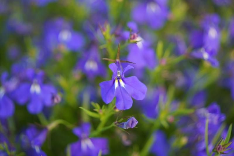 bleu lobélies