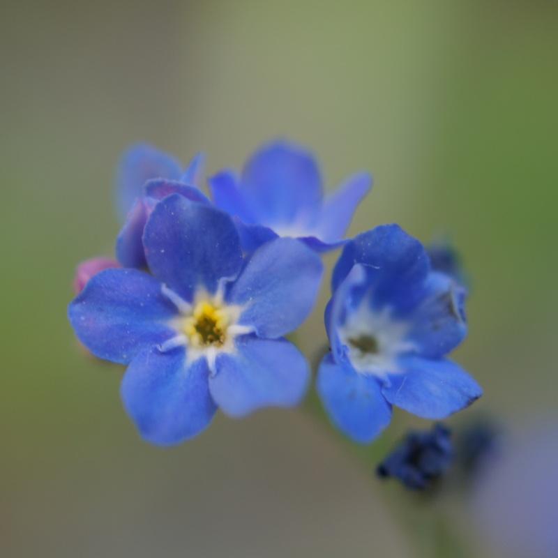 bleu myosotis