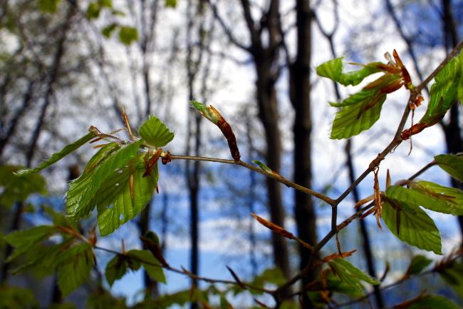 R_Jeunes feuilles